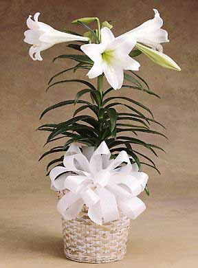 Amazing Easter Lily Plant - Home Interior and Details Ideas